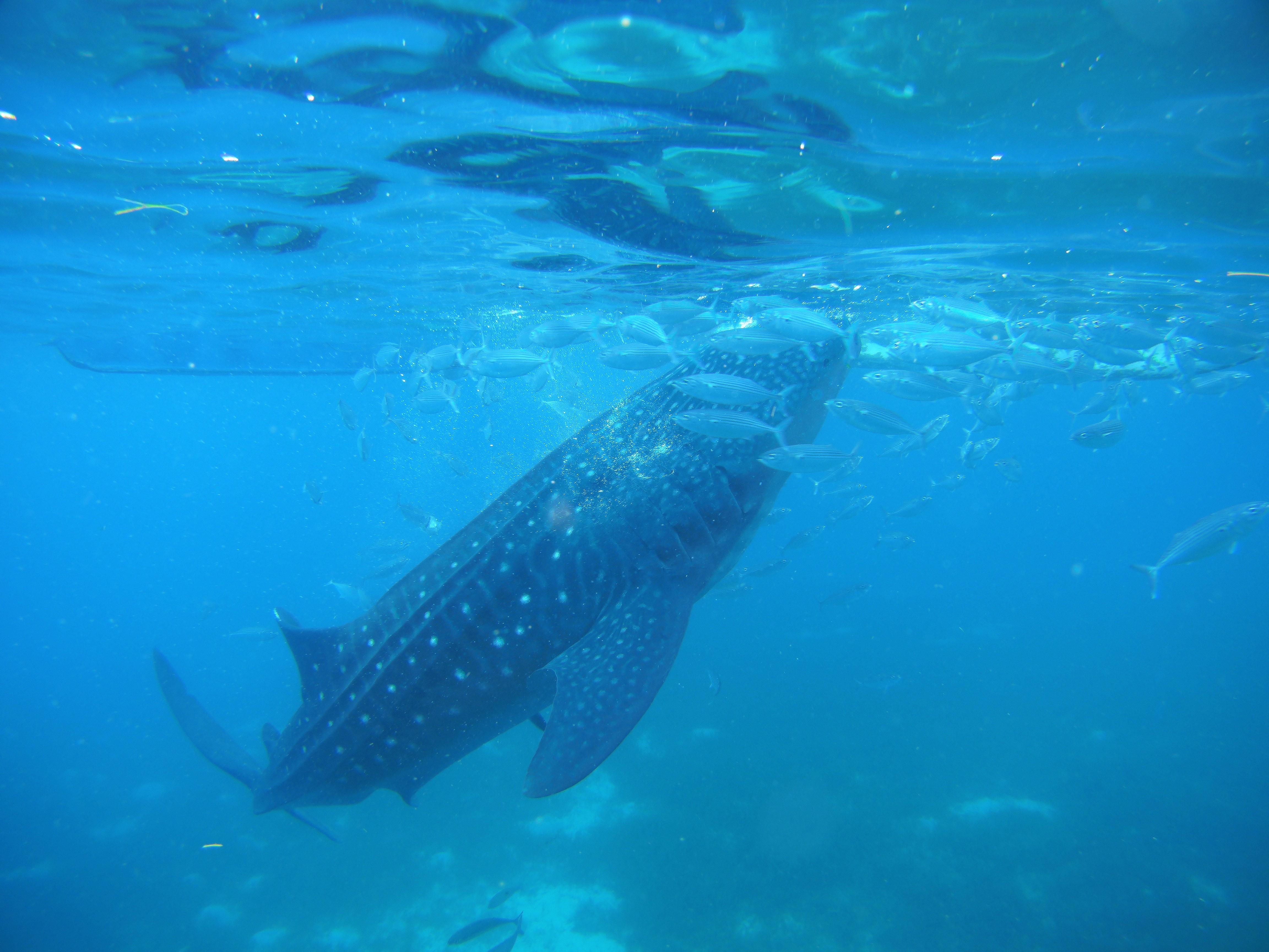 船から餌付けをしているので、ジンベイザメだけでなく魚達も沢山集まってきます
