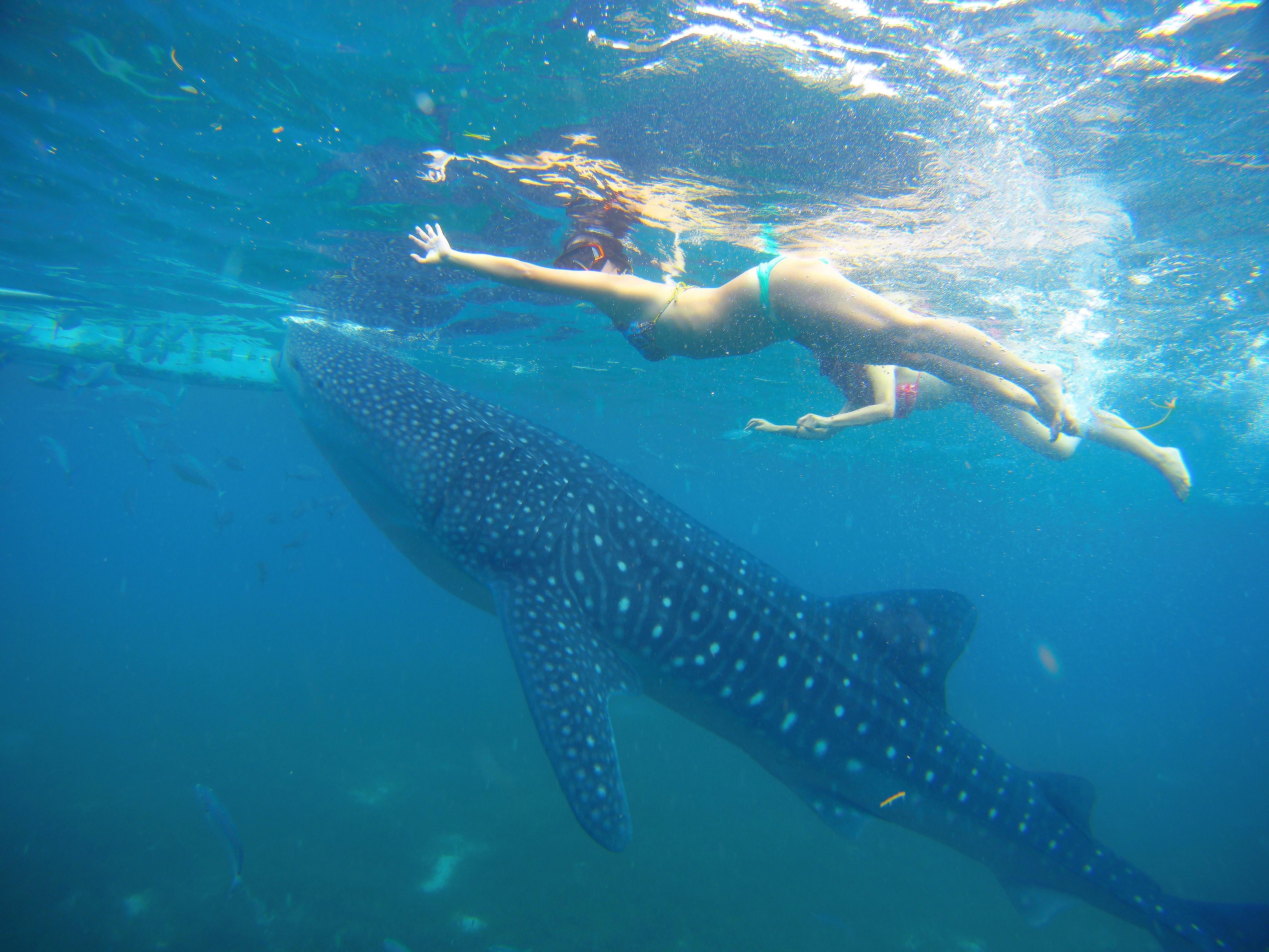海遊館の人気者、あのジンベイザメと一緒に泳げるのは世界でもなかなかレア。